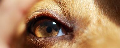 A kutyák fokozott könnytermeléséről
